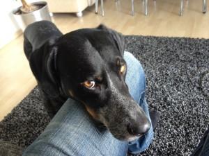 Hundetrick: Kopf ablegen / Kinn-Targeting