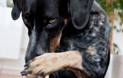 Hundetrick: Schämen / Nase reiben