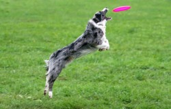 Border collie catching a frisbee in air