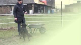 hundetrick-schubkarre-fahren